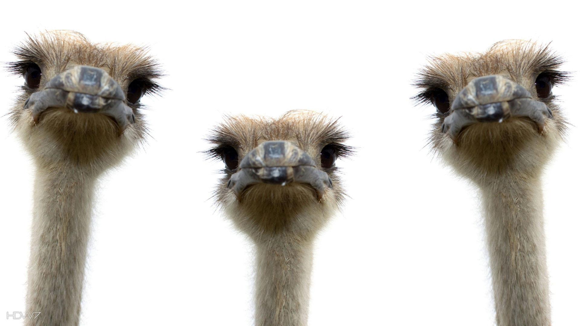 ostrich-bird-three-funny-ostriches